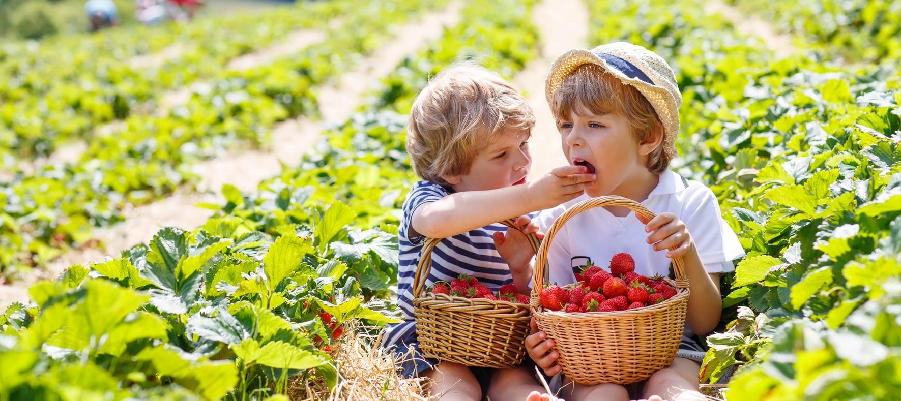 Récolte de fruit Banagrumes